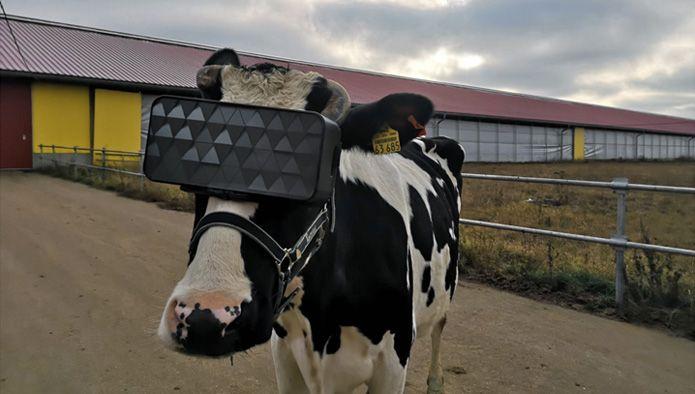 vr-cow.jpg